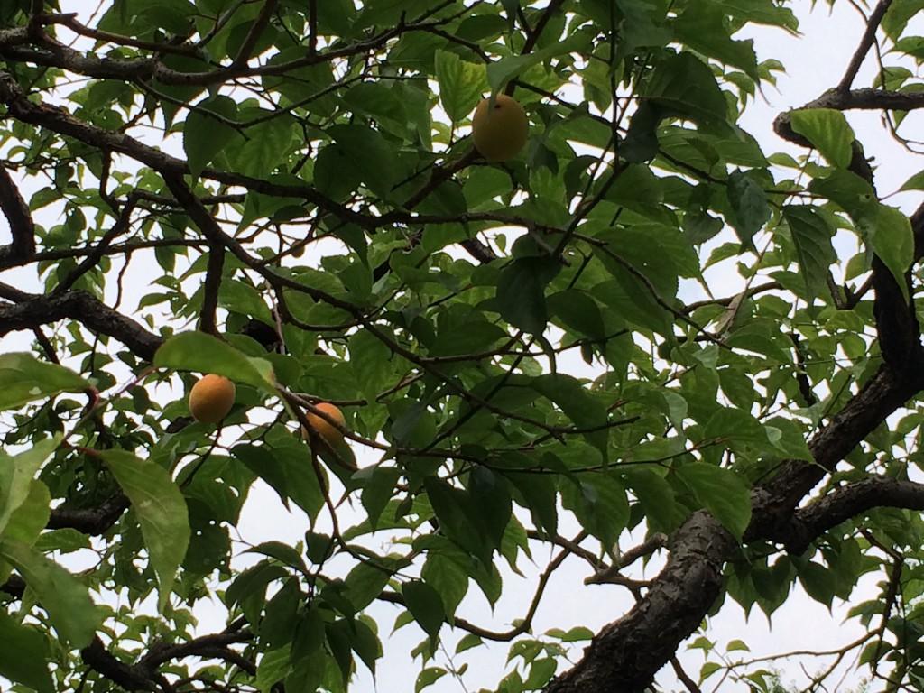 日比谷 梅の木