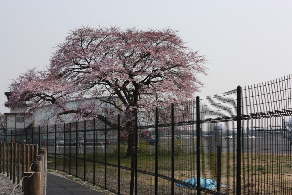 飛行場の桜